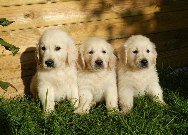 tři štěňata